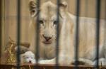 bílí lvi foto zoo