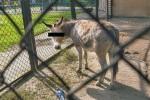 pis-alarmuje-osly-kopuluja-w-zoo Foto Przemysław Szyszka